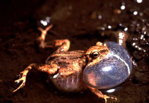 Research on Tungara frog calls.